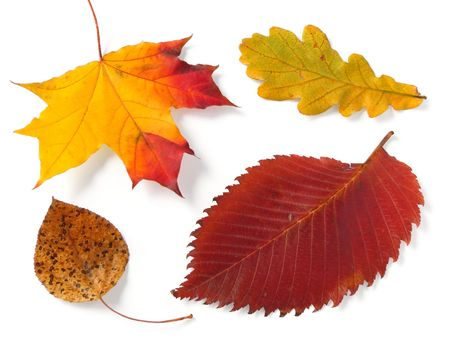 four bright autumnal leaves from different trees                                Stock Photo - 5662517