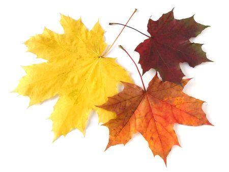 autumn leaves falling: three bright autumnal maple leaves on white