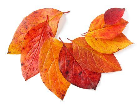 crimson colour: some bright autumnal leaves on white