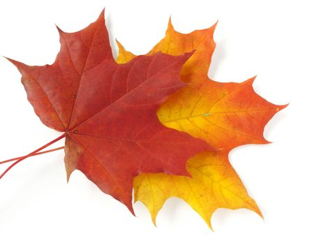 two bright autumnal maple leaves on white                                photo