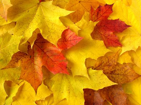 colorful fallen maple leaves collection                                photo