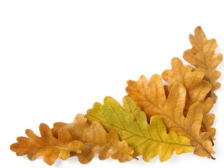 corner design element with oak leaves on white                                photo