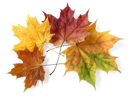 crimson colour: bright autumnal maple leaves on white                                Stock Photo