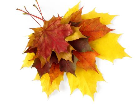 bright autumnal maple leaves pile on white                                photo