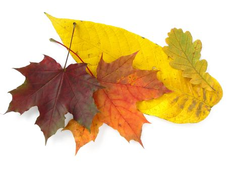bright autumnal leaves on white                                photo