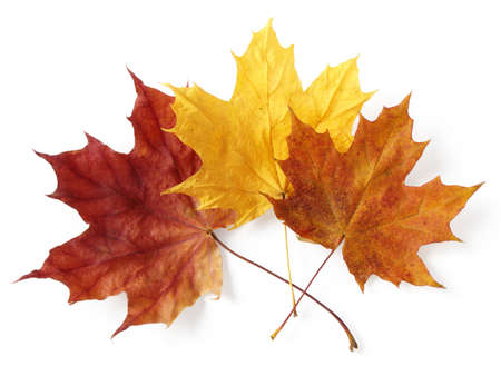 three bright autumnal maple leaves on white
