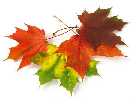 bright autumnal maple leaves on white                                photo