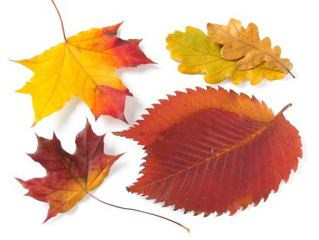 bright autumnal leaves collection on white                                photo