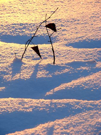 winter sunset scene with couple of young trees sticking out of the snow                          photo