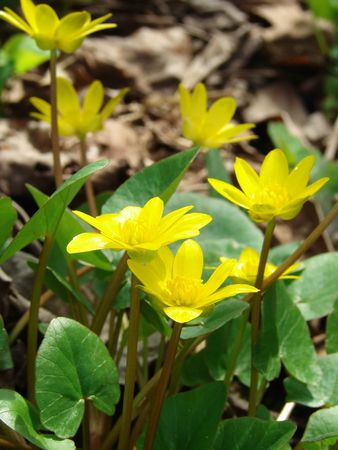 primroses: yellow early spring primroses                                 Stock Photo