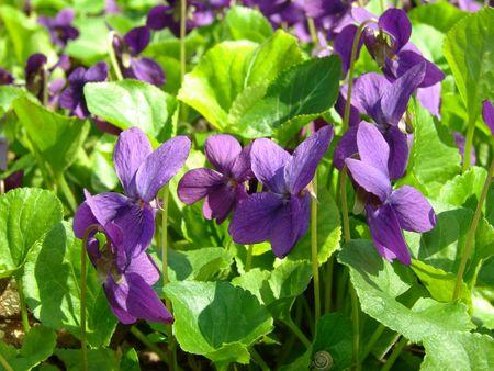 wild violets flowering at springtime