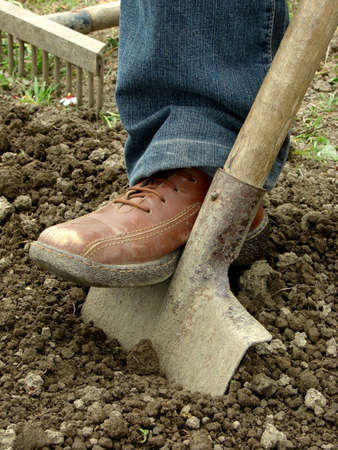 dug: preparing vegetable bed with spade for planting