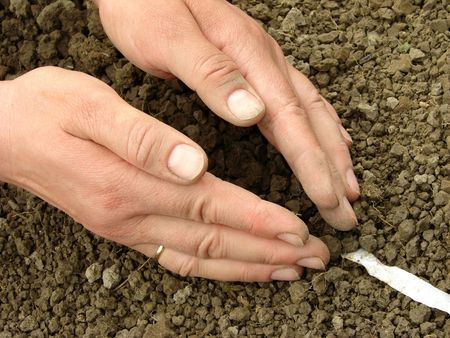 woman hands sowing seeds on tape                                photo