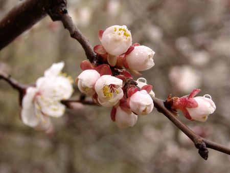 flowering in plants: blooming cherry tree branch with flowers and buds                          Stock Photo