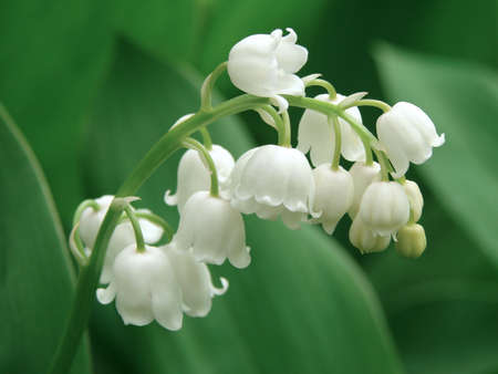 lily of the valley: flowering lily of the valley                                Stock Photo