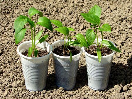 pepper seedlings in plastic cups                                photo