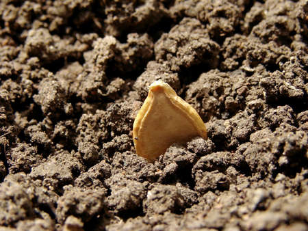 pumpkin seed in the ground                                Stock Photo