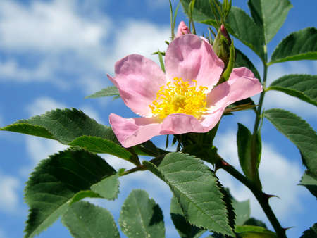 pink wild rose flower against blue sky                                Stock Photo