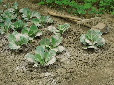 young cabbages sprinkled with ashes for protection from the pests                                 photo