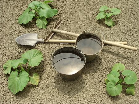 two buckets with water on the pumpkins vegetable bed                                 photo