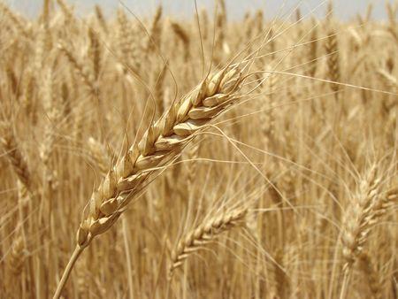 golden ear against ripening wheat field                                photo