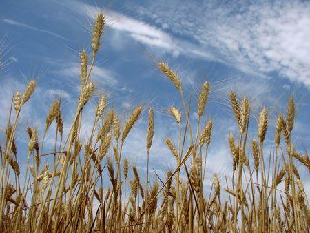 golden wheat ears against cloudy sky                                photo