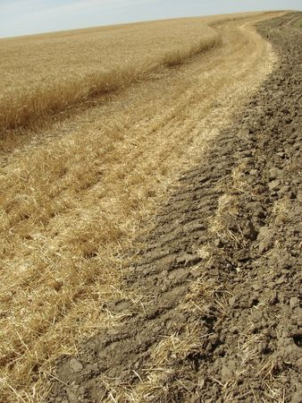 reaping: wheat field ready for reaping