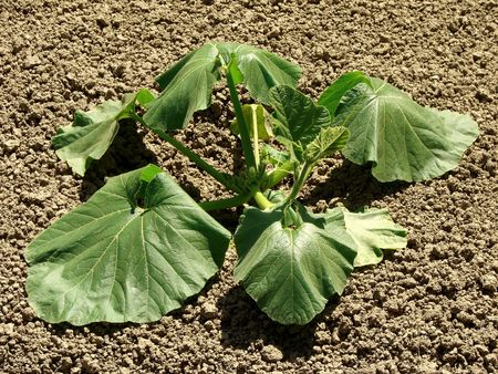 hottest: drooping pumpkin plant at the hottest time of the day                                Stock Photo