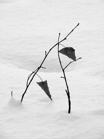 winter scene with couple of young trees sticking out of the snow                                 photo