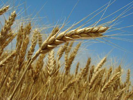 golden ear against ripening wheat field and blue sky                                photo