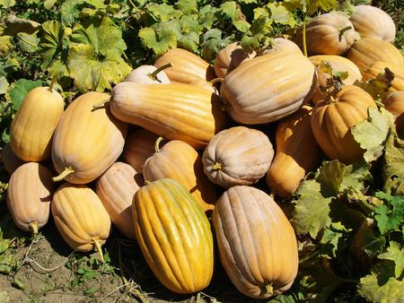 amount of ripen pumpkins at the patch Stock Photo - 7754471