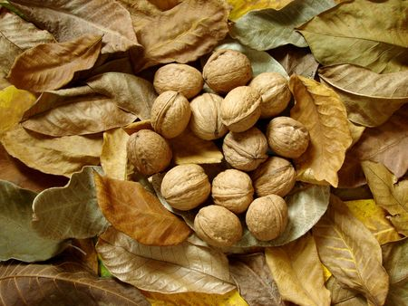 autumnal walnut leaves with nuts                                photo
