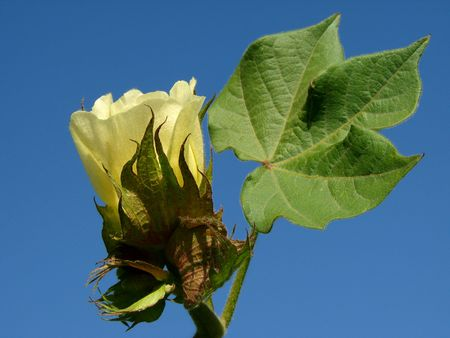 cotton crop: yellow cotton flower with leaf against blue sky                                Stock Photo