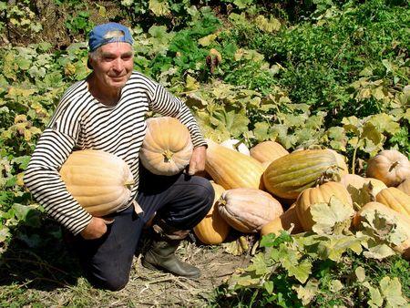 senior gardener with pumpkins                                 photo