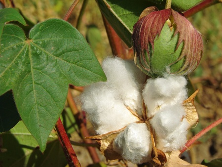 cotton plant: open cotton boll and closed one with leaves on the branch