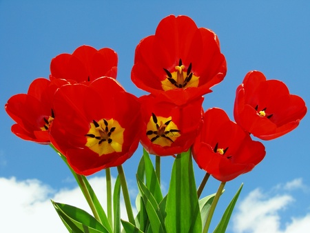 red tulips bouquet against blue sky Stock Photo - 8990573