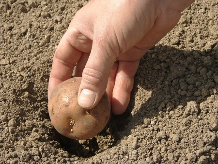 hand planting potato tuber into the ground                                photo