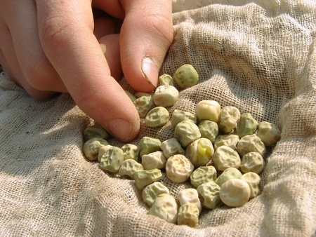 hand with peas seeds ready to sowing                                photo