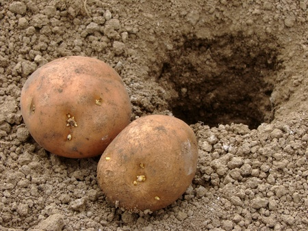 potatoes with young tubers for planting into the ground                                photo