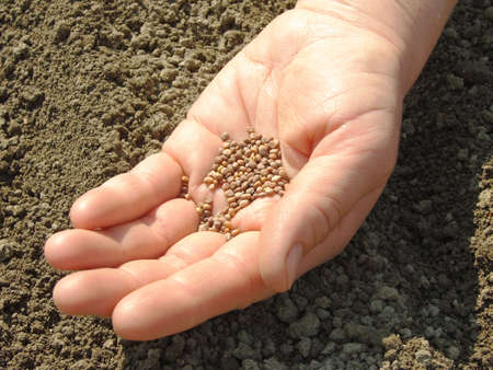 hand with radish seeds ready to sowing                                photo