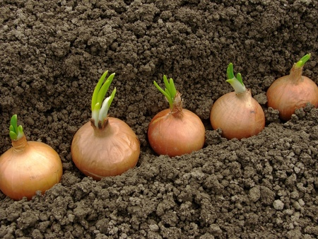 spring onion: bulbs ready to plant for green onions