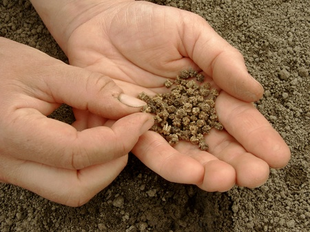 hoeing: hand with beetroot seeds ready to sowing