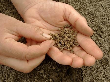 betabel: mano con remolacha listos de semillas para siembra