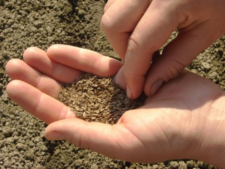 woman hands sowing dill seeds                                photo