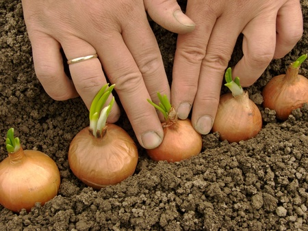 woman hands planting bulbs for green onions                                photo