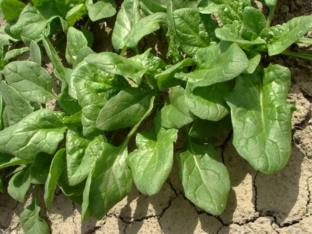 spinach growing on the vegetable bed                                photo