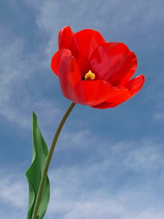 unfold: red tulip against blue sky with light clouds                                Stock Photo