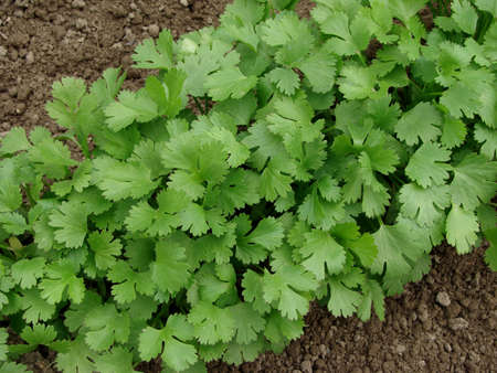 coriander growing on vegetable bed                                Stock Photo