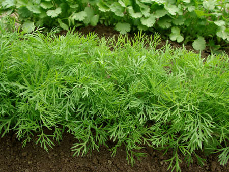 dill growing on the vegetable bed