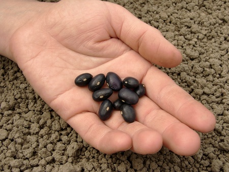 hand with black beans ready to sowing                                photo
